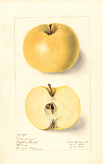 Apples, Colorado Orange (1909)