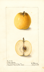 Apples, Colton (1904)