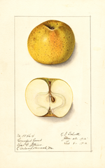 Apples, Comfort Sweet (1912)