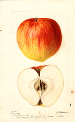 Apples, Congress (1895)