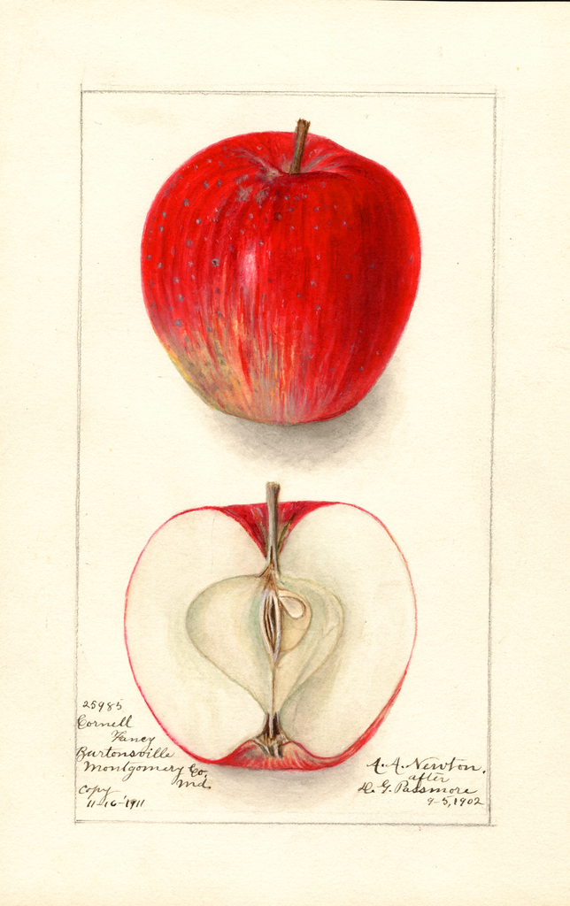 Apples, Cornell Fancy (1902)