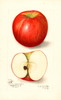 Apples, Doctor (1908)