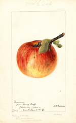 Apples, Dominie (1894)