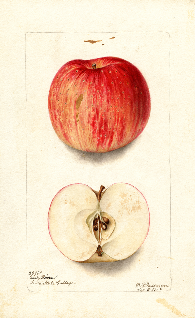 Apples, Early Wine (1902)