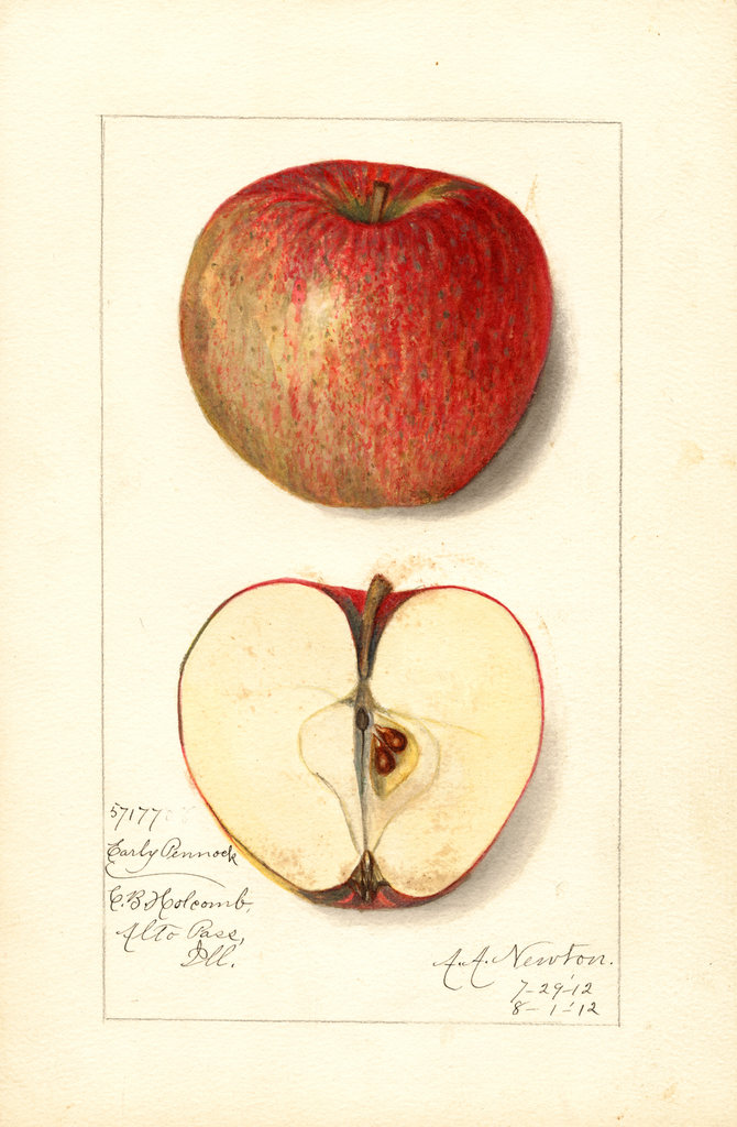 Apples, Early Pennock (1912)
