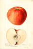 Apples, Early Pennock (1896)