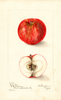 Apples, Early Red (1905)
