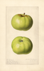 Apples, Early Ripe (1920)