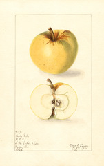 Apples, Early Ripe (1908)