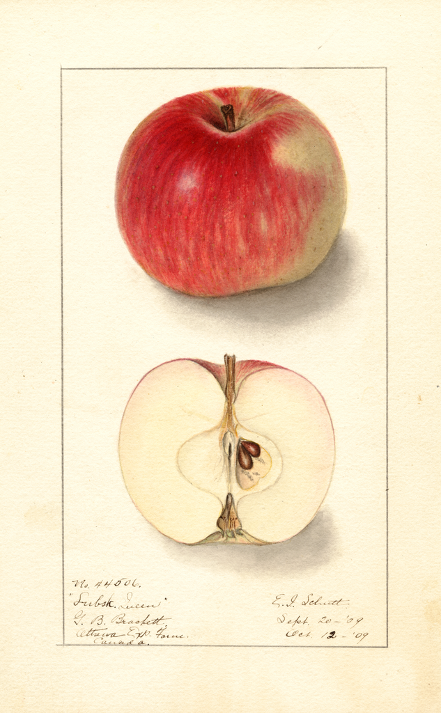 Apples, Lubsk Queen (1909)