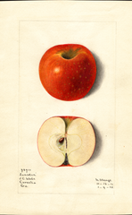 Apples, Lumsden (1915)