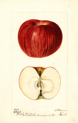 Apples, Mabel (1896)