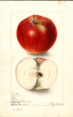 Apples, Cotter (1906)