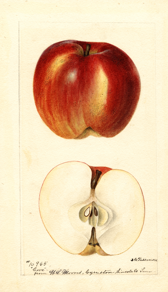 Apples, Cove (1895)