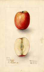 Apples, Coreless (1907)