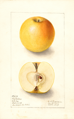 Apples, Cox Golden (1907)