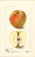 Apples, Cox Golden (1901)