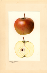 Apples, Cox Orange (1931)