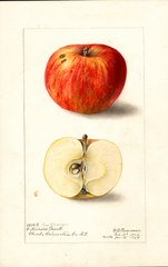 Apples, Cox Orange (1905)