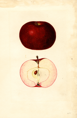 Apples, Early Mcintosh (1935)