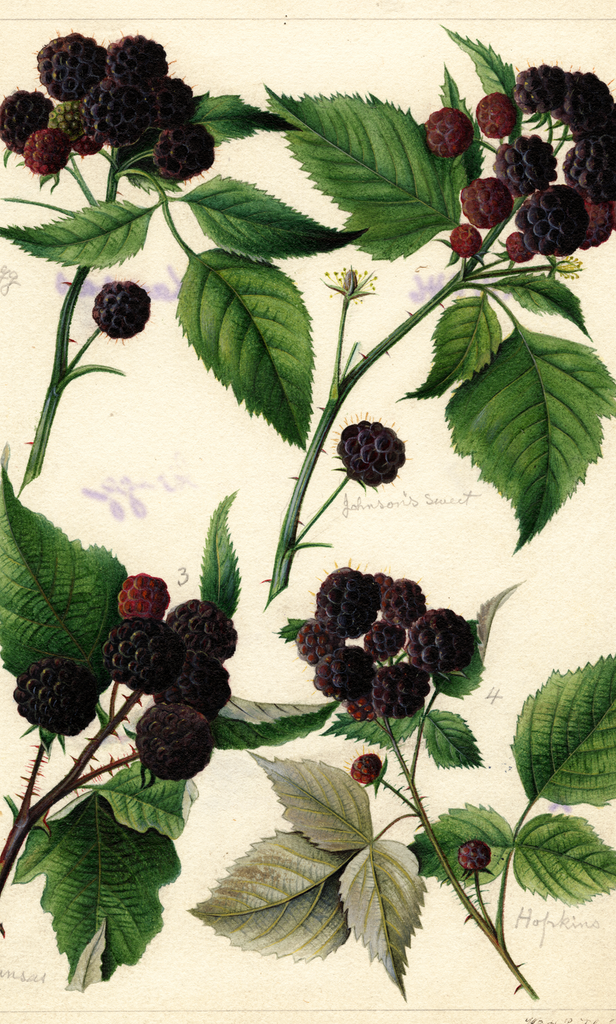 Black Raspberries (1891)