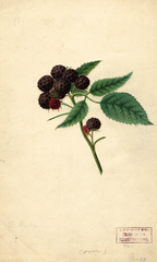 Black Raspberries, Gregg (1892)
