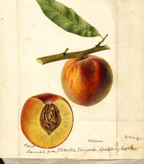 Peaches, Triumph (1895)