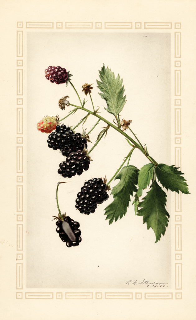 Blackberries, Mersereau (1922)