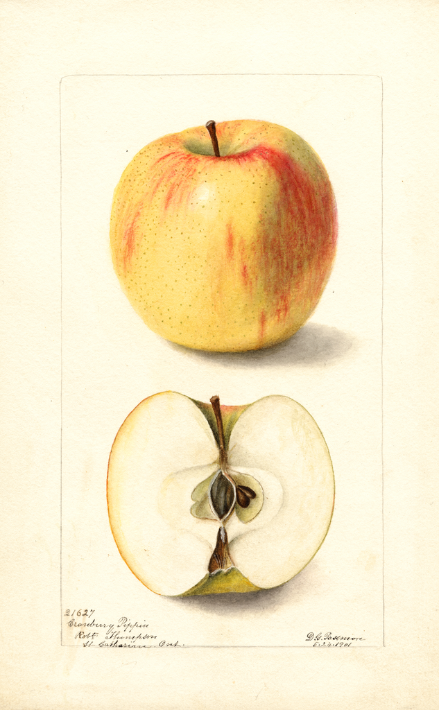 Apples, Cranberry Pippin (1901)