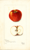 Apples, Crawford (1902)