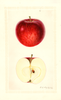 Apples, Crimson Beauty (1930)