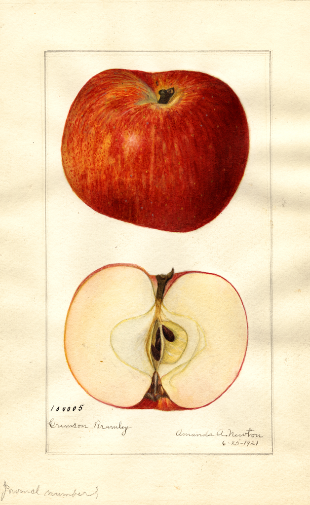Apples, Crimson Bramley (1921)