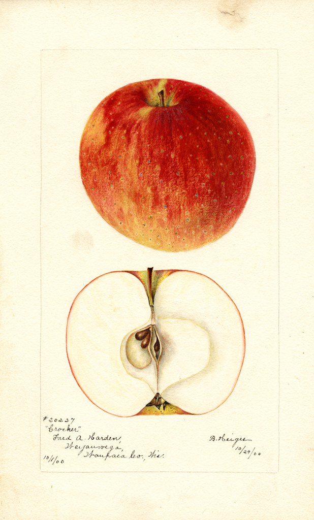 Apples, Crocker (1900)