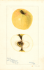 Apples, Crookstem (1897)