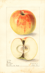 Apples, Cross (1908)