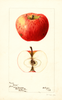 Apples, Cross (1897)