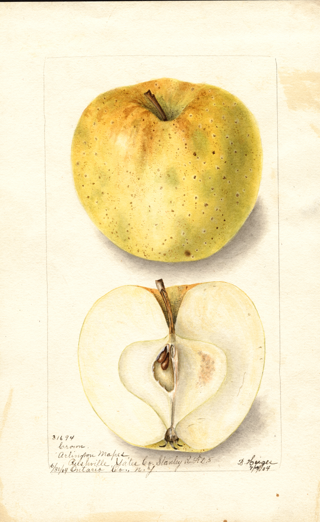 Apples, Crown (1904)