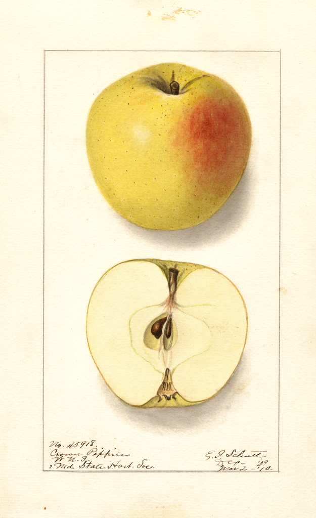 Apples, Crown Pippin (1910)