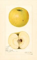 Apples, Golden Noble (1921)