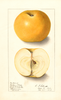 Apples, Golden Noble (1908)