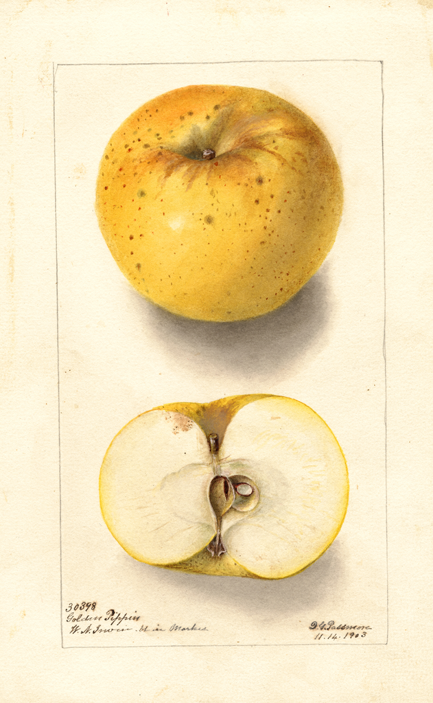 Apples, Golden Pippin (1903)