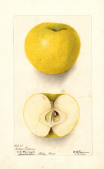 Apples, Golden Pippin (1902)
