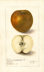 Apples, Golden Russet (1905)