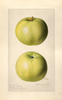 Apples, Golden Sweet (1920)