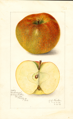 Apples, Cullasaga (1909)