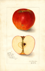 Apples, Currahee (1908)