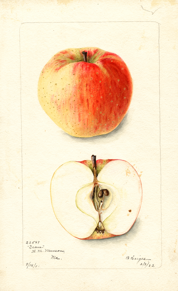 Apples, Deane (1902)