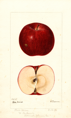 Apples, Fall Wine (1896)