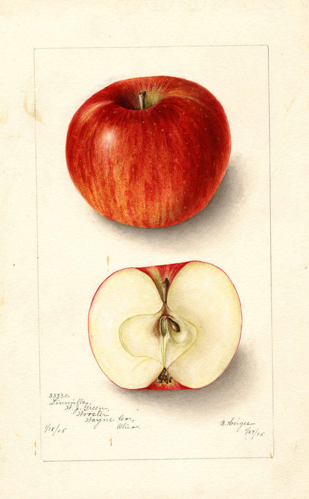 Apples, Linville (1905)