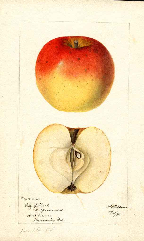 Apples, Lilly Of Kent (1895)
